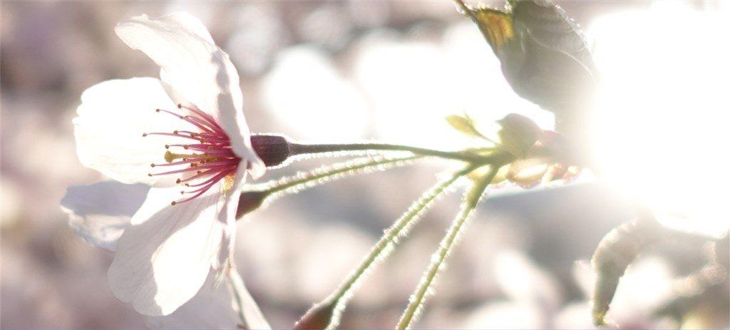 2018年桜の写真RX100M5 満開日3月30日 近所の公園