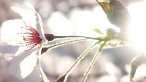 2018年桜の写真RX100M5 満開日3月31日 近所の公園